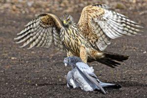 00_21_FB_01_Van Echelpoel Rene_Hawk with prey_preview