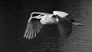 24_SW_04_Van Echelpoel Rene_Flying grey heron_preview