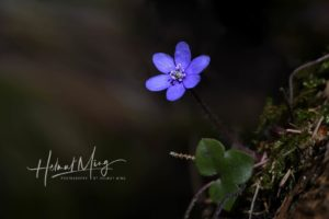 Blume - Helmut Ming