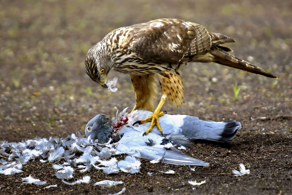 Eating hawk