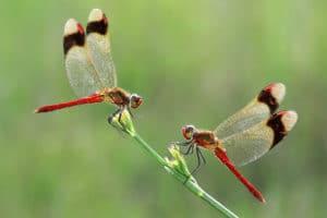 FB 04_Van Echelpoel Rene_Two banded dragonflies