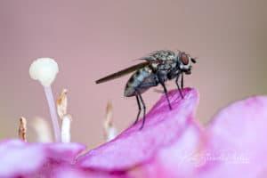 Fliege und Blütenstempel