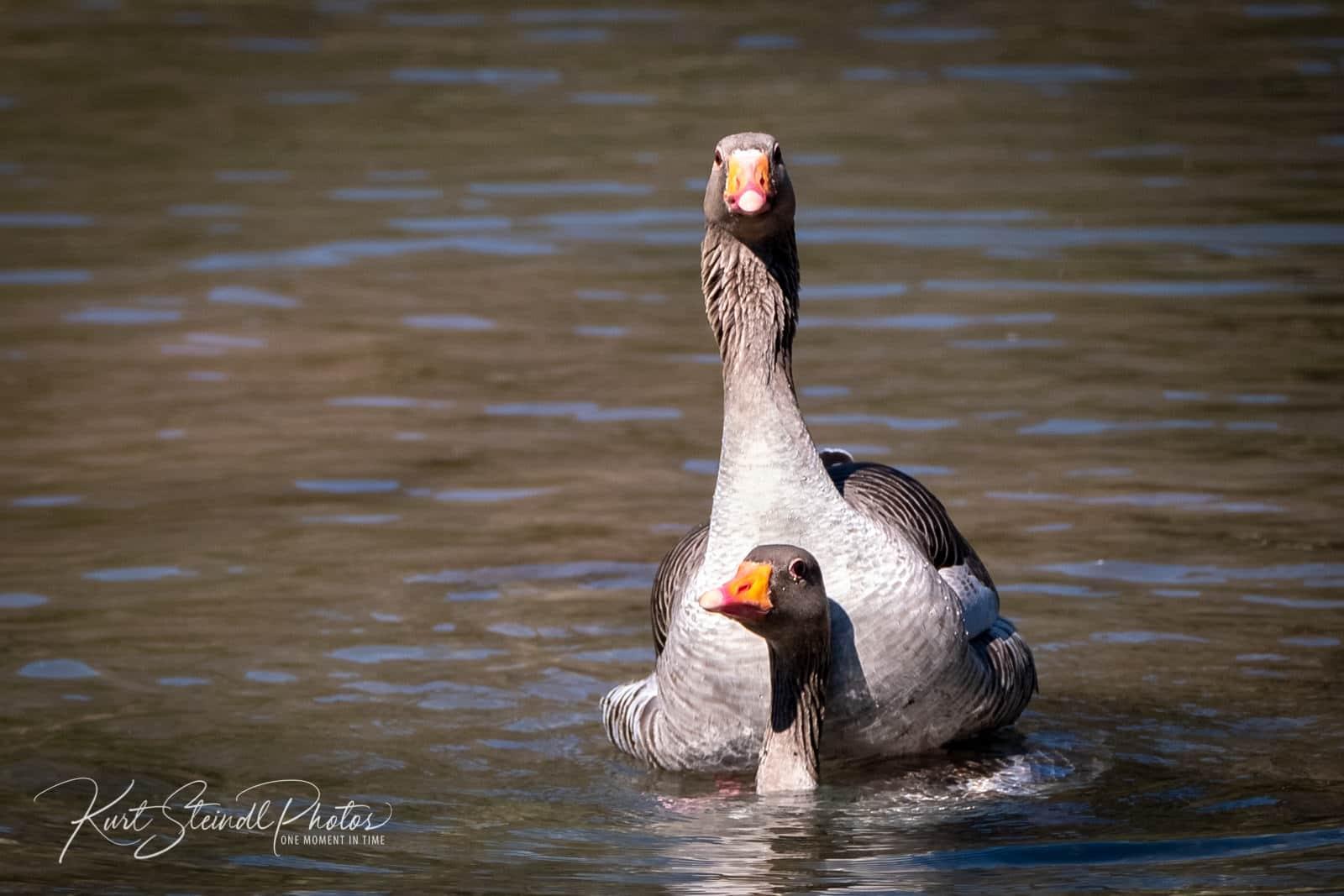 Goose sex